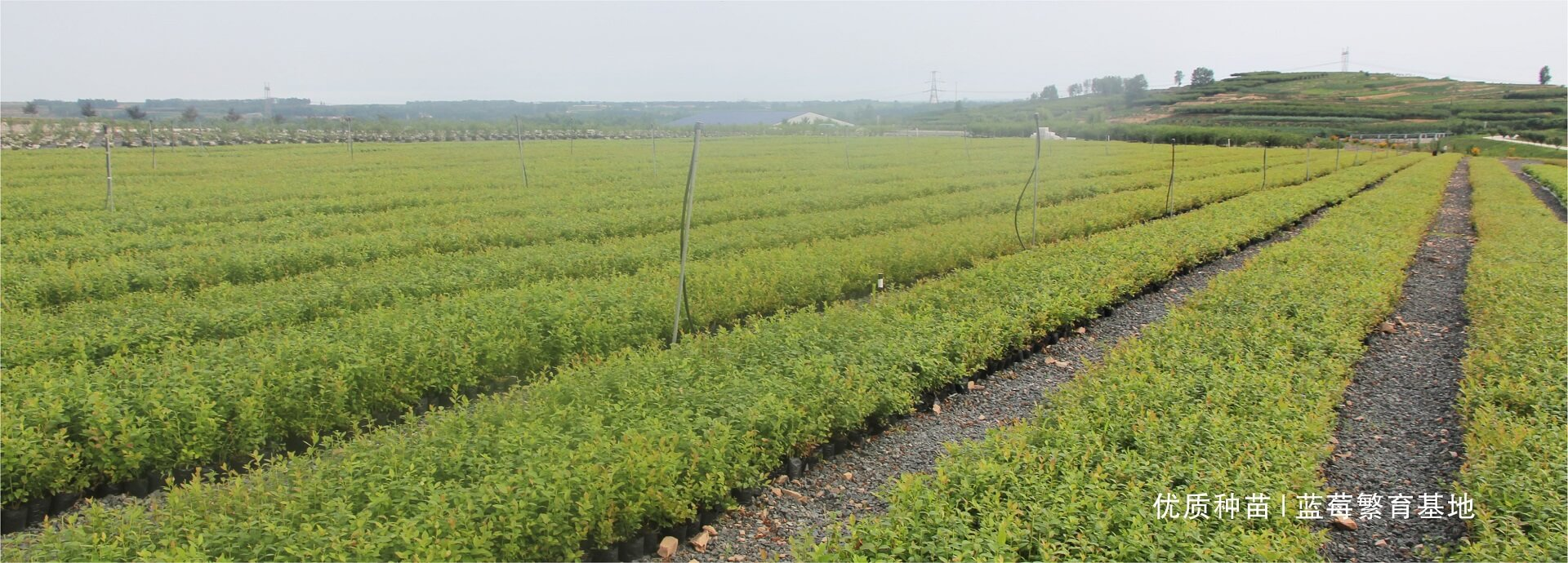 蓝莓种苗繁育基地